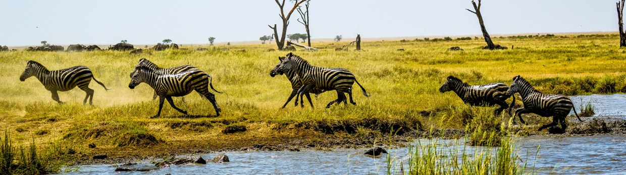 Common Zebras- Serengeti NP