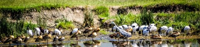 Aquatic Birds-Ngorongoro Crater