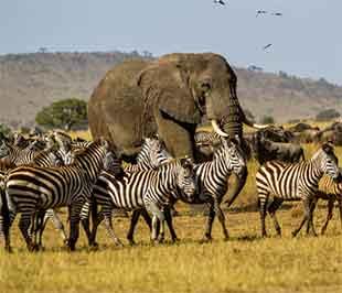 Big-bull-elephant-arangire-National-Park.