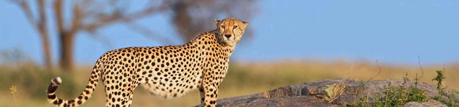 Cheatah at serengeti plain