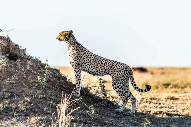 Cheetah-Serengeti