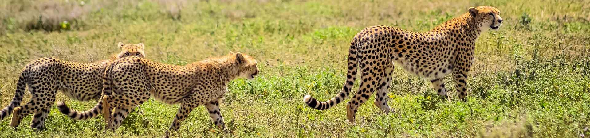 Cheetah-Serengeti National Park