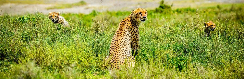 Cheetah and Cubs-Ndutu Ngorongoro