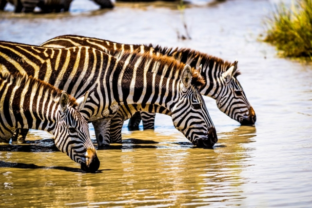 Common Zebras Drinking- Serengeti NP