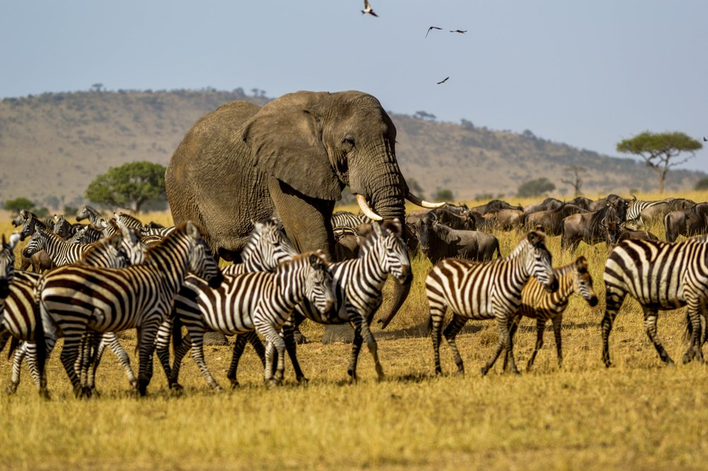 Elephant Bull and Zebras- Serengeti NP