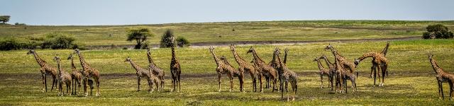 Giraffe at ndutu Safari