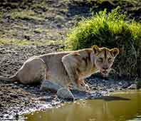 Lioness Drinking - Serengeti Nantional park