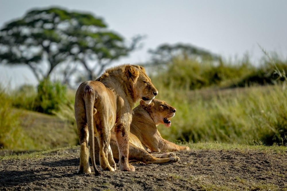 Male and Female Lion 2- Serengeti NP