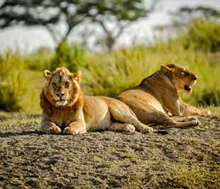 Male and Female Lion - Serengeti National park