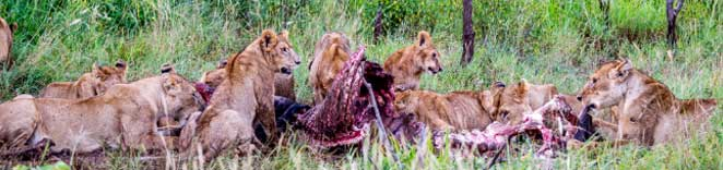 Pride of Lion-Eating-Serengeti National Park