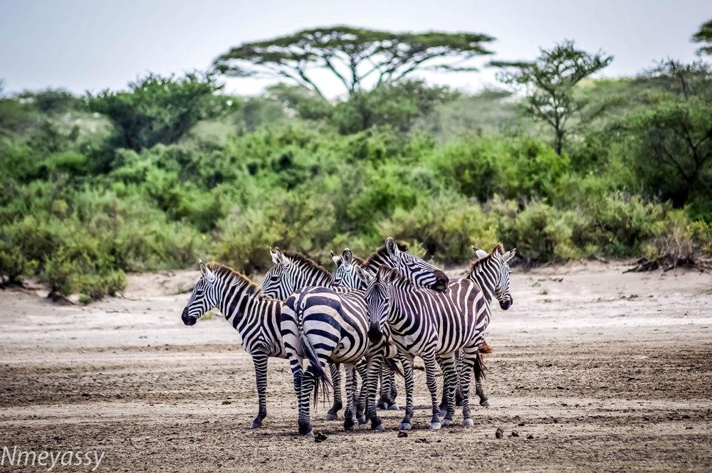 Zebras-Ndutu