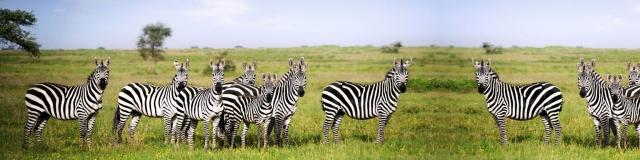katavi-national-park-zebras
