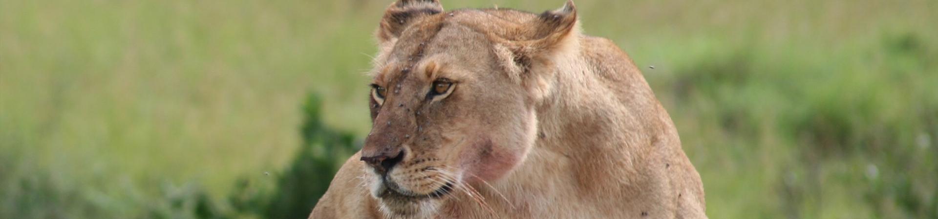 lion at serengeti park