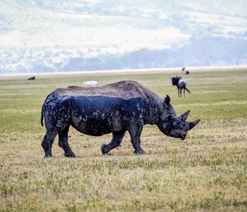 ngorongoro crater black rhino
