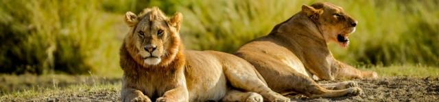 serengeti lion