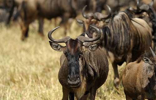 8 Days Serengeti Migration Safari Camping