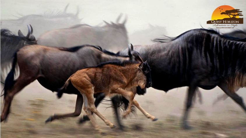 Wildebeest Calves Are Fast